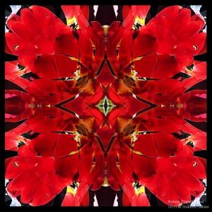 Tulips-4_2